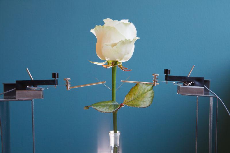 "alt=""Cyborg Rose"""