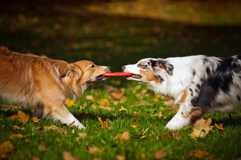 """""""dogs playing"""""""