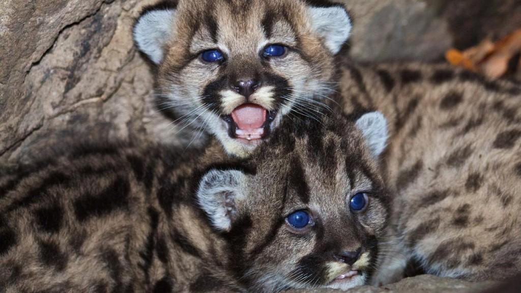 """mountain lion cubs"""