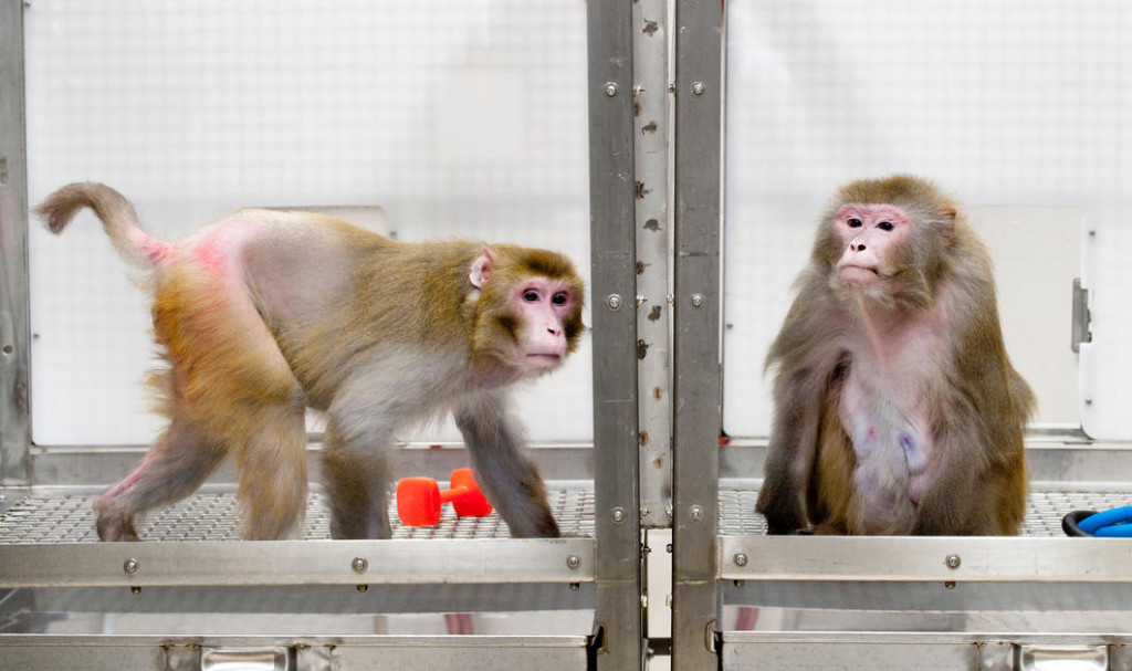 lab macaques