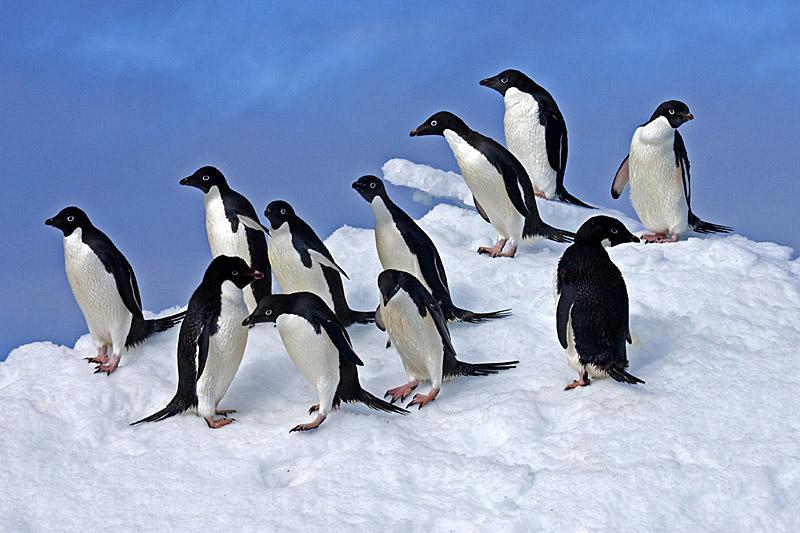 adelie-penguins-on-snow-lg