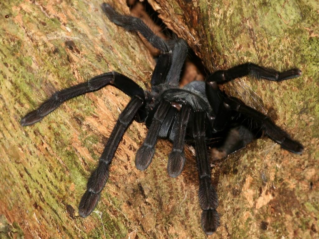 johnny cash tarantula