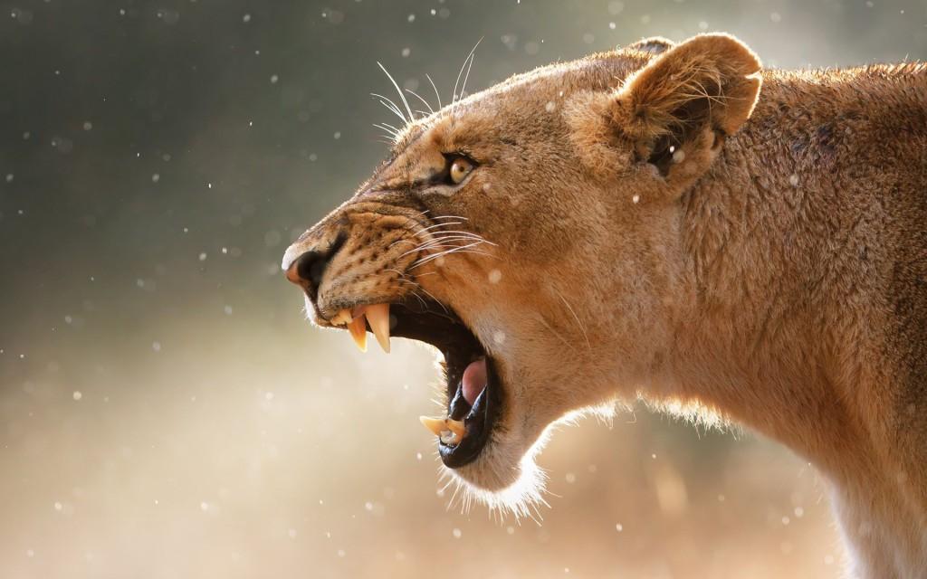 roaring lioness