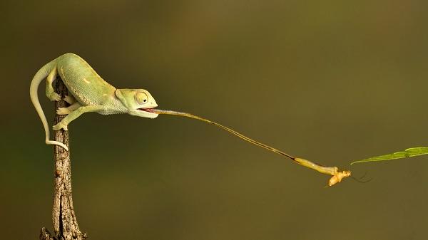 alt= chameleon's sticky tongue