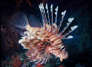 lionfish species