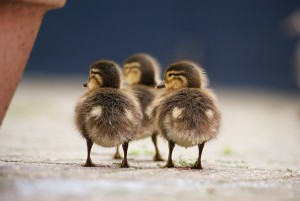 ducklings are smart