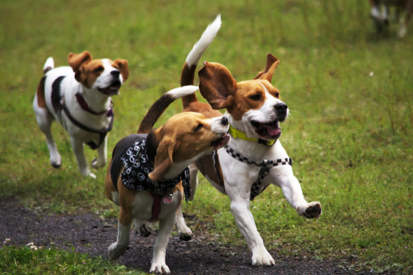 Seven beagles were euthanized after a study