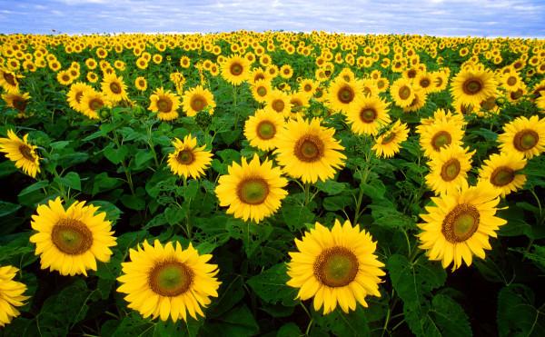sunflower's dance