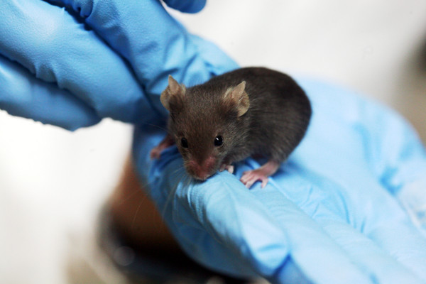 Scientists injected sperm into embryo to create baby mice