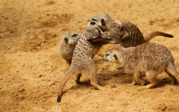 the most murderous mammals are Meerkats