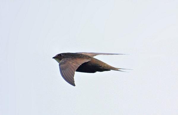 swift photographed mid-flight