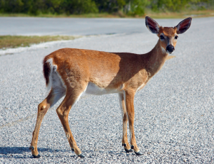EHD is a threat for Michigan deer