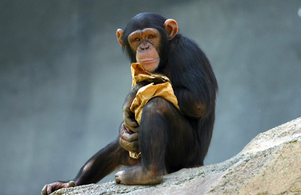 Apes are smarter than we thought