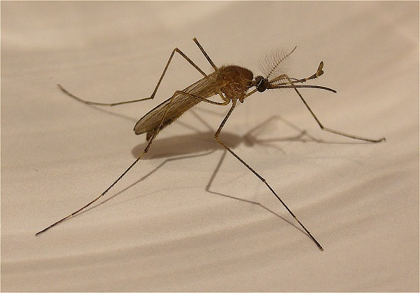 close-up photo of a mosquito