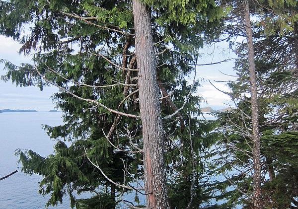 yellow cedar trees