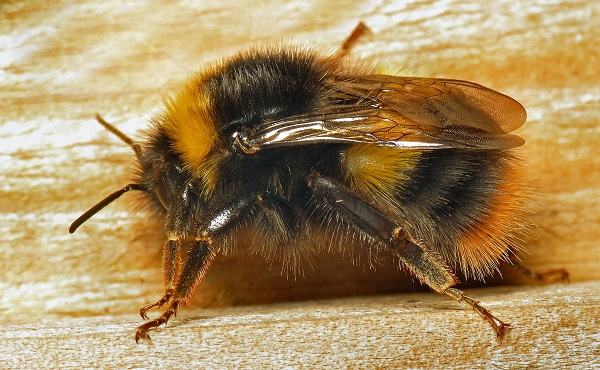 a close-up of a bumblebee