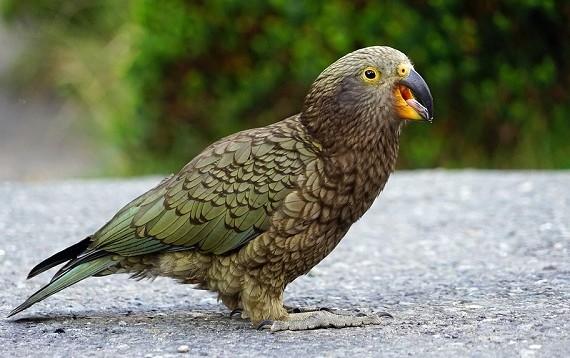 Kea Parrot laughing