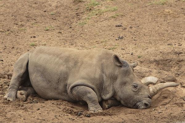 white rhino resting in dirt