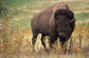bison quarantine facility