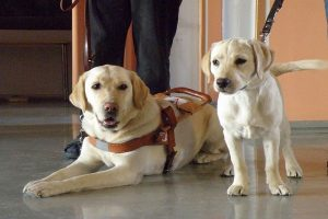retriever guide dogs with mother and pup