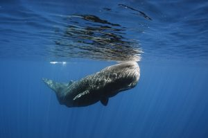 Sperm whale swimming close to the surface