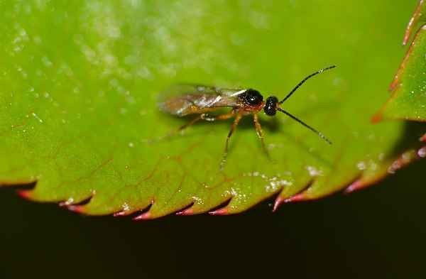 Wasp parasiting an aphid