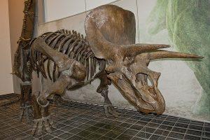 thornton triceratops skeleton on display