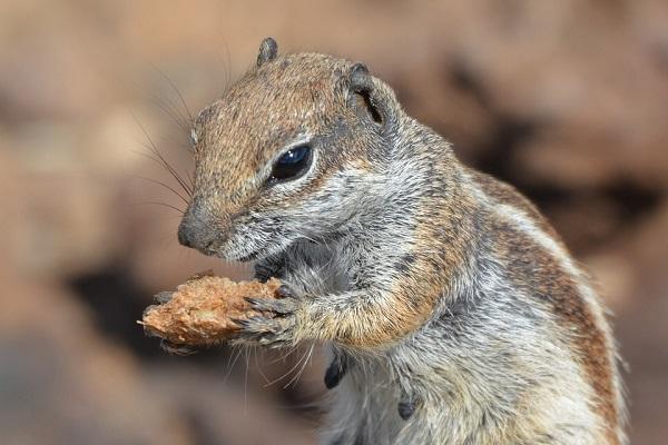 Ground Squirrel holding nut