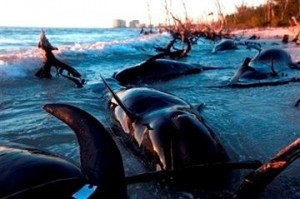 Biologists Began Necropsies For 25 Pilot Whales Found Dead