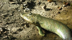 Primitive Land Walking Tiktaalik Roseau Possessed Massive Hips