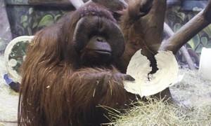 Utah ape predicts Seattle Seahawks as Super Bowl 2014 winner