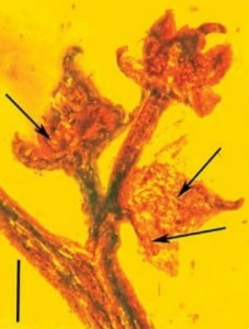 Amber Fossil 100-Million-Year Old found containing flowering plants in the middle of sexual reproduction
