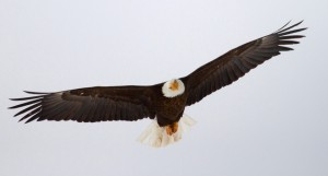 Number of Dead Bald Eagles from West Nile reached 40