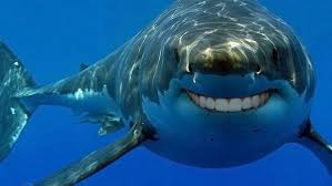 Great White Sharks Life Span Proven To Be As Long As Humans