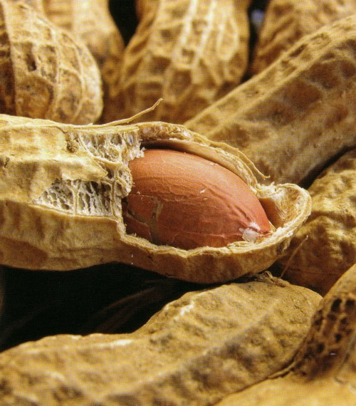 peanut-reference-photo