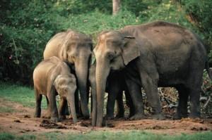 Even animals like Asian elephants show empathy, says study