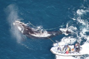 Endangered whale had 280 feet of fishing line stuck in its mouth