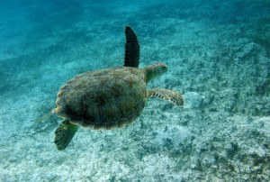 42,000 Marine Turtle Population Harvested Legally Per Year