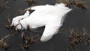 Two endangered whooping cranes shot in Louisiana