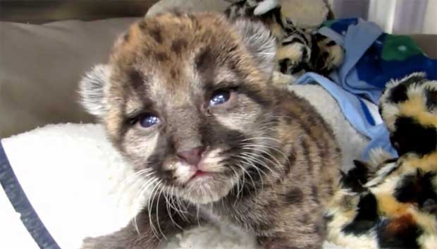 florida-panther-kitten
