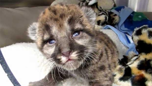 florida-panther-kitten