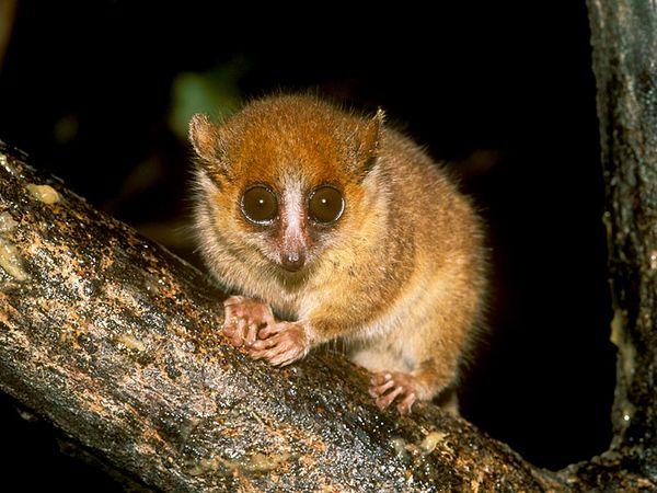 mouse-lemur_638_600x450