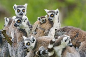 New Action Plan For Lemur Conservation in Madagascar