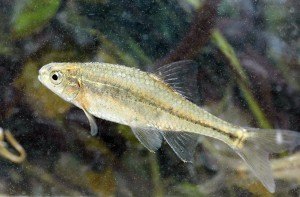 Oregon Chub First Fish Removed From Endangered List