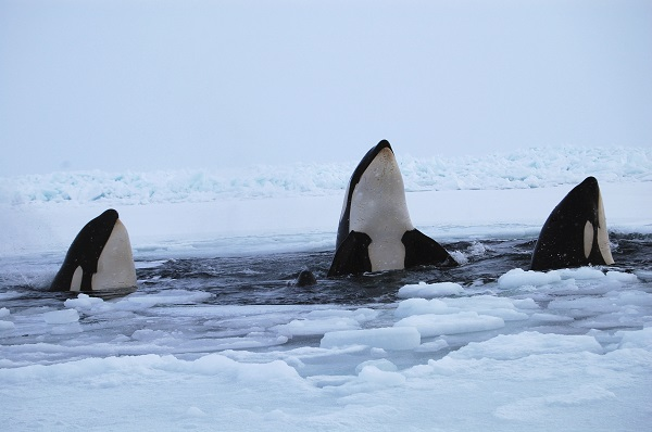Three killer whales surface through a breathing hole in the ice of Hudson Bay near the community of Inukjuak, Quebec