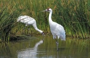 Whooping Crane Pair Shot in Louisiana, One Dead Another Severely Wounded