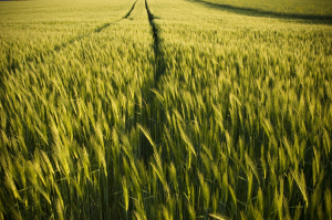 Climate change to affect crop yields more badly than thought