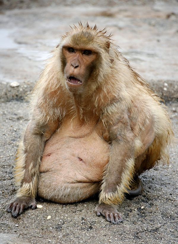 Obese Rhesus monkey is seen at Ohama park in Sakai