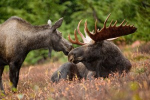 Minnesota's injured moose ignites debate on US wildlife intervetion