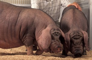 Utah orders slaughter of show pigs to check swine flu